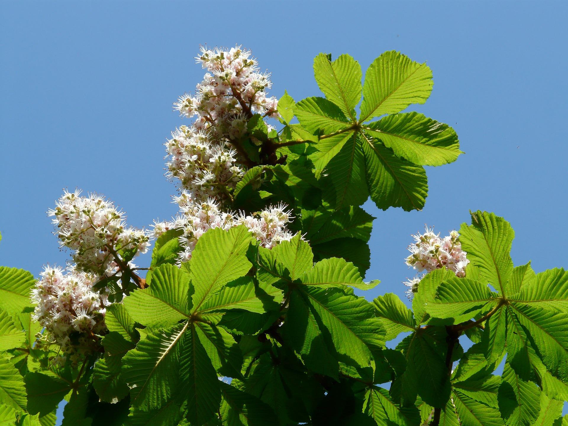 medicină cu flori de castan din varicoză