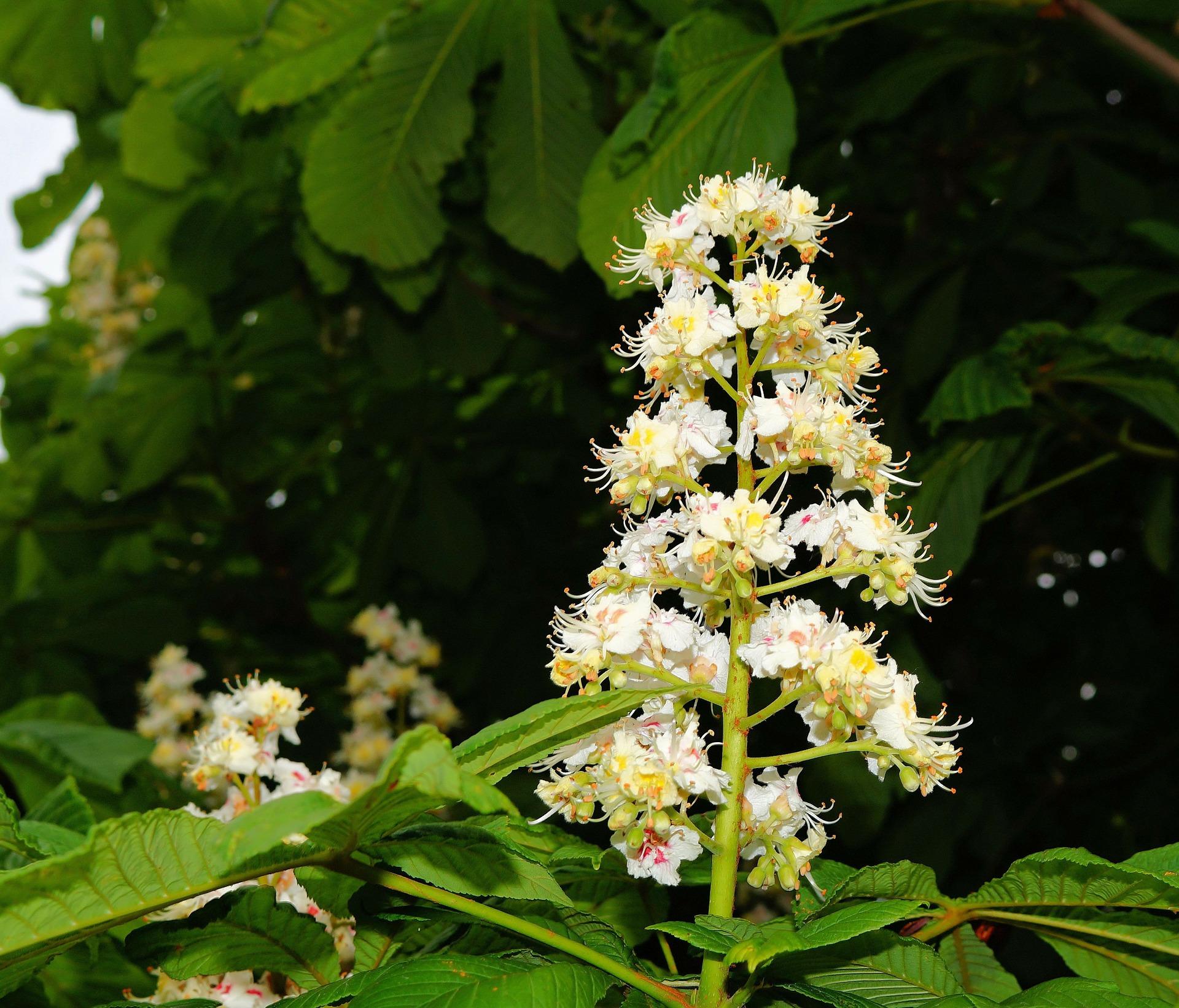 Tratamentul varicos cu flori de castan